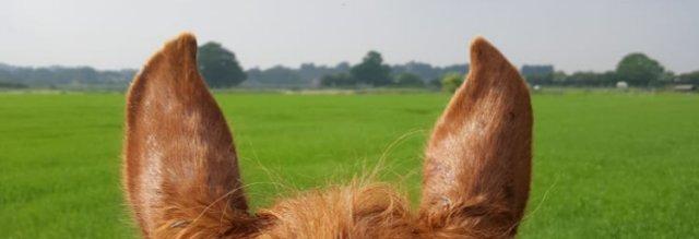 horse_ears